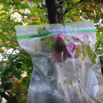 Protect Fruit with Ziplock Bags