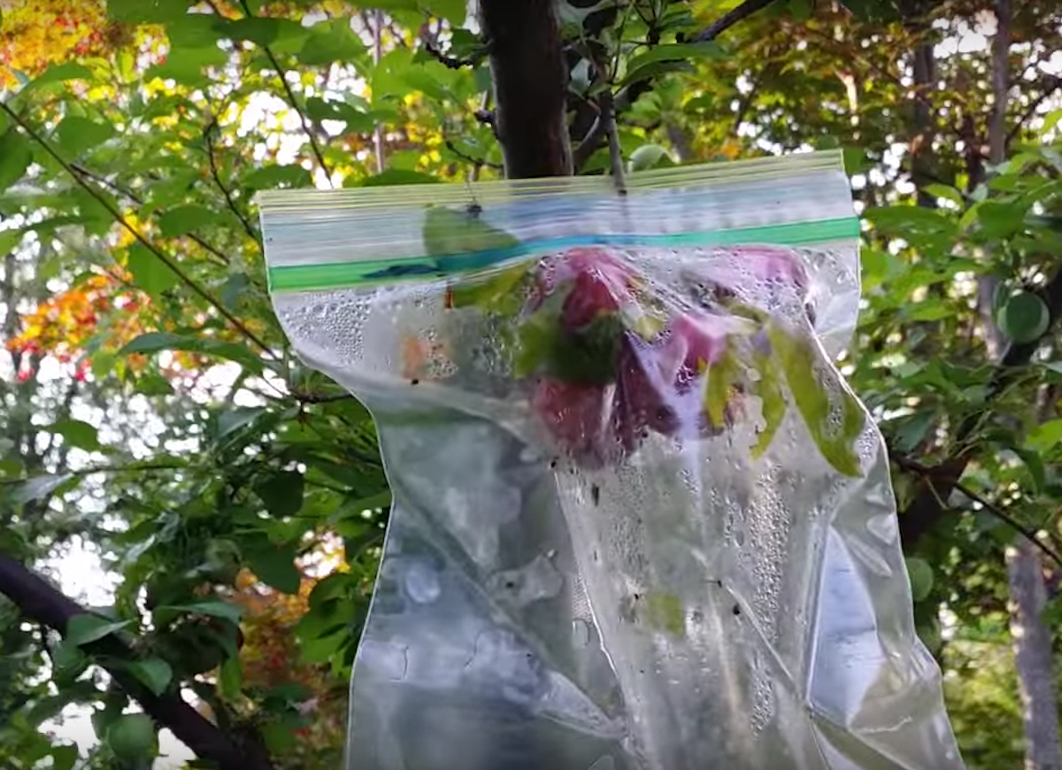 Ziplock bag protect apples