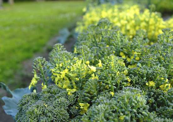 Grow broccoli cauliflower to deter pests