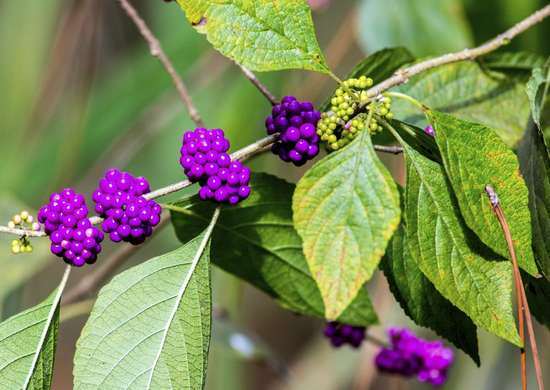 American-beautyberry