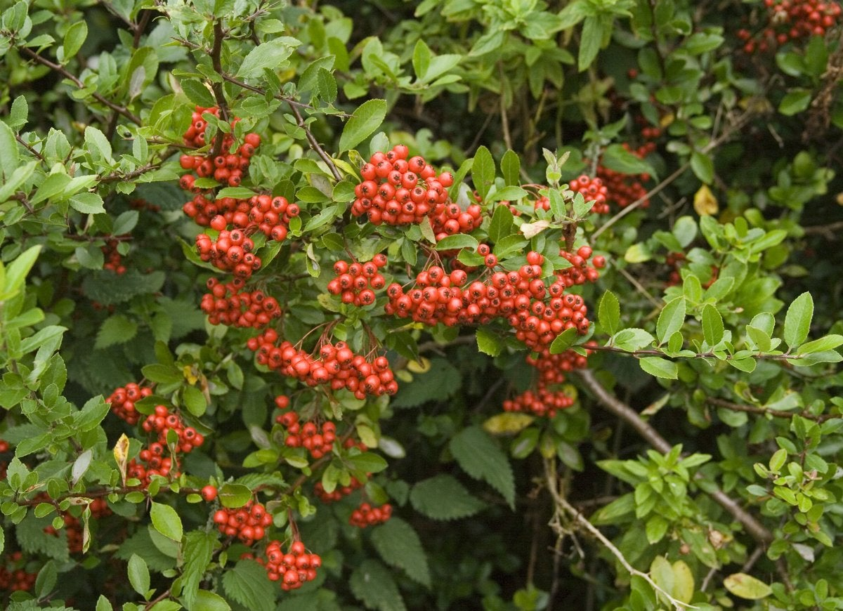 Fall landscaping ideas 30 colorful plants for your yard bob vila pyracantha commonly known as firethorn is an evergreen shrub that provides all season interest in the yard the small white flowers that appear in summer mightylinksfo