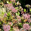 Wintherthur Viburnum