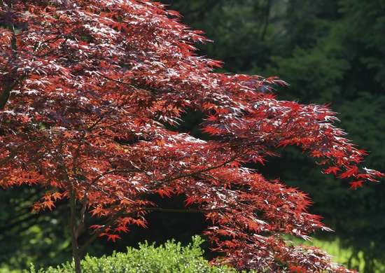Japanese-red-maple