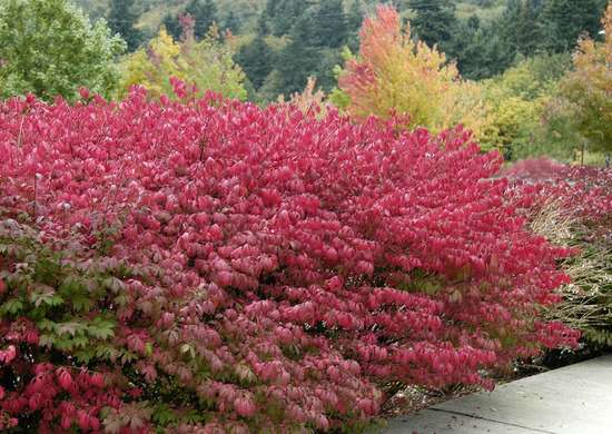 Burning-bush