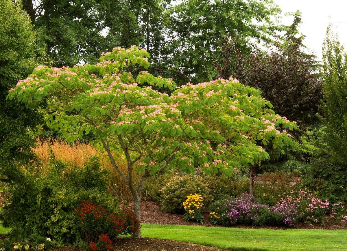 Mimosa tree 1