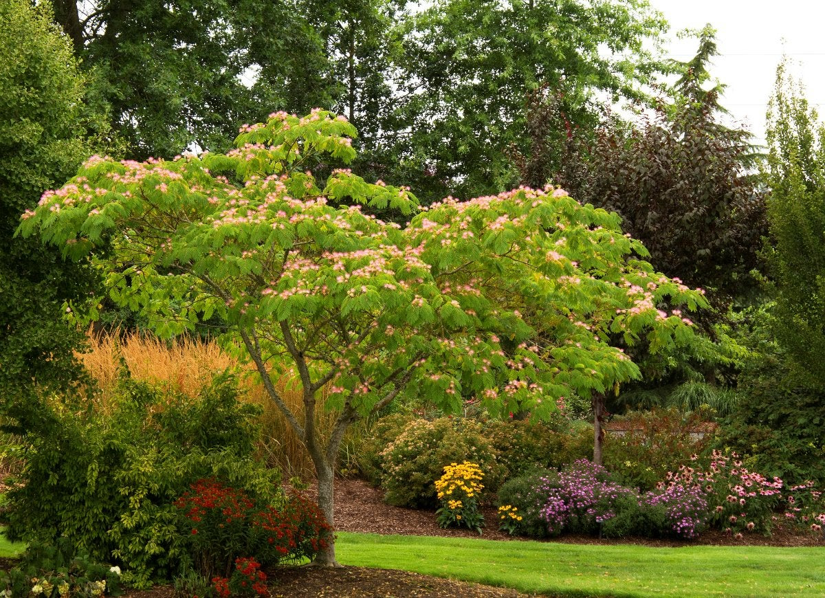 Planting trees 10 to avoid in your yard bob vila the fern like foliage and feathery pink blossoms of the mimosa tree make it a visual stunner its prolific along roadsides and waterways especially in the mightylinksfo