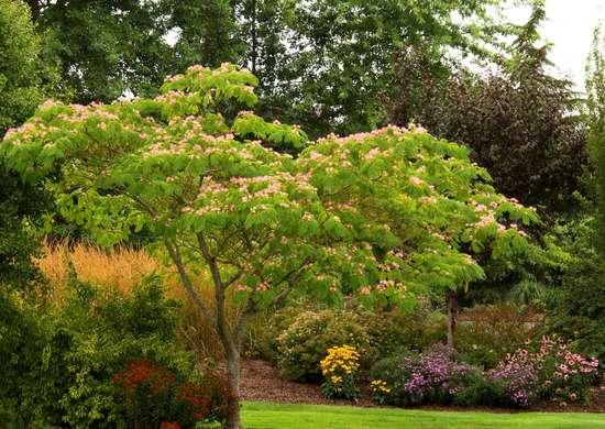 Mimosa-tree-1