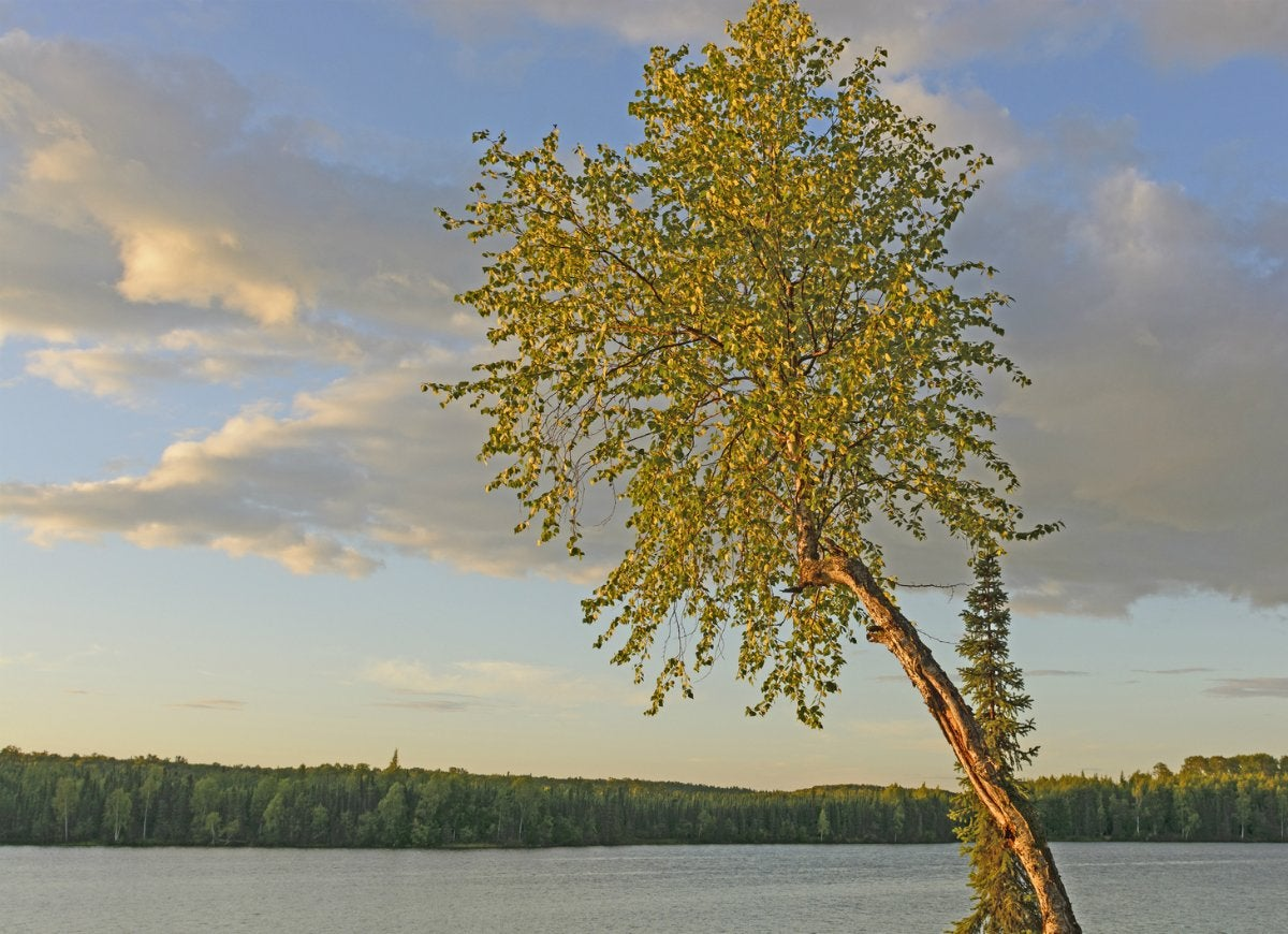 Quaking-aspen-tree