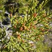 Mountain Cedar Tree