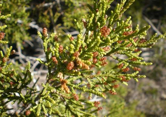 Mountain-cedar-tree