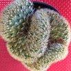 Brain Cactus (Mammillaria elongata cristata)