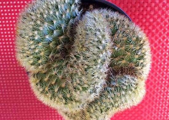 Brain-cactus