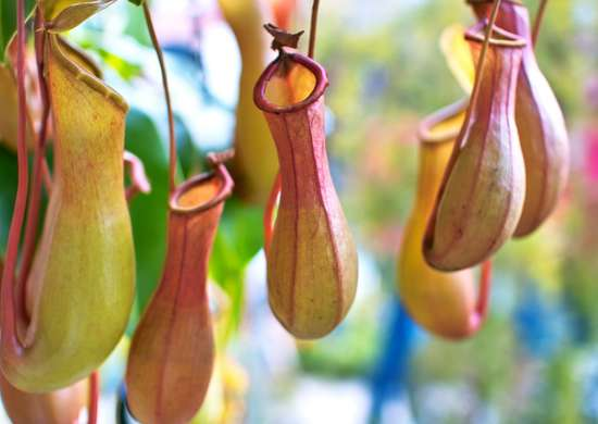 Monkey cups pitcher plant