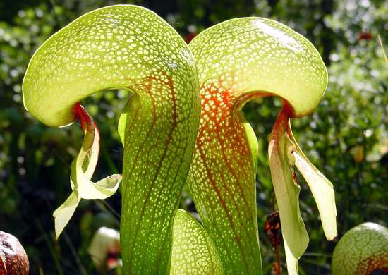 Darlingtonia californica ne1
