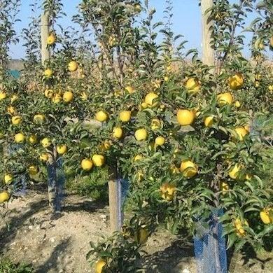 GoldRush - Apple Tree Types - 8 Disease-Resistant Varieties - Bob Vila
