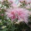 Wisp of Pink