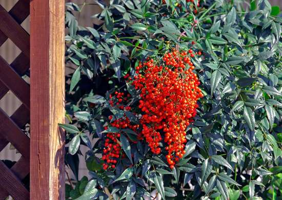 Nandina winter