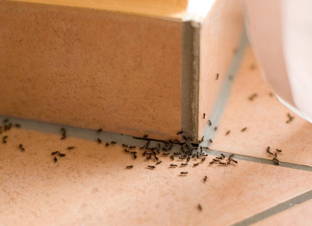 Pestpatrol ants