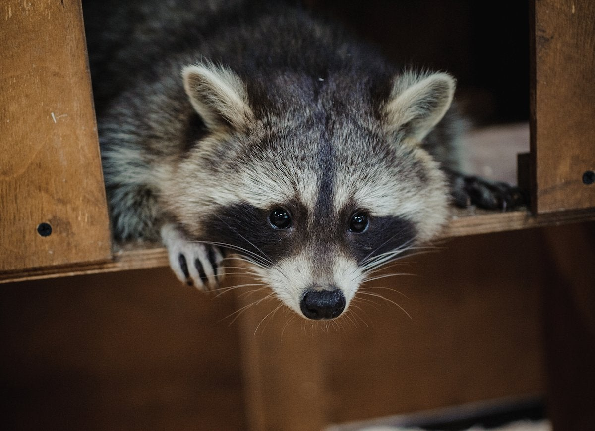 Safety at Home: 10 Emergencies You Need to Know How to ... Raccoon Face