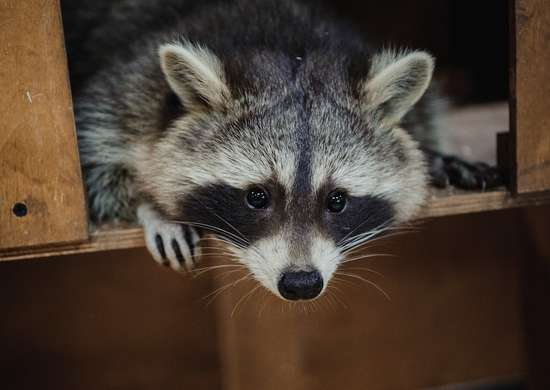 Cute raccoon face action animals 505755378 2125x1414