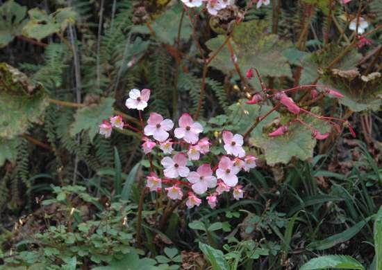 Wild begonia