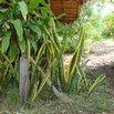 Wild Snake Plant