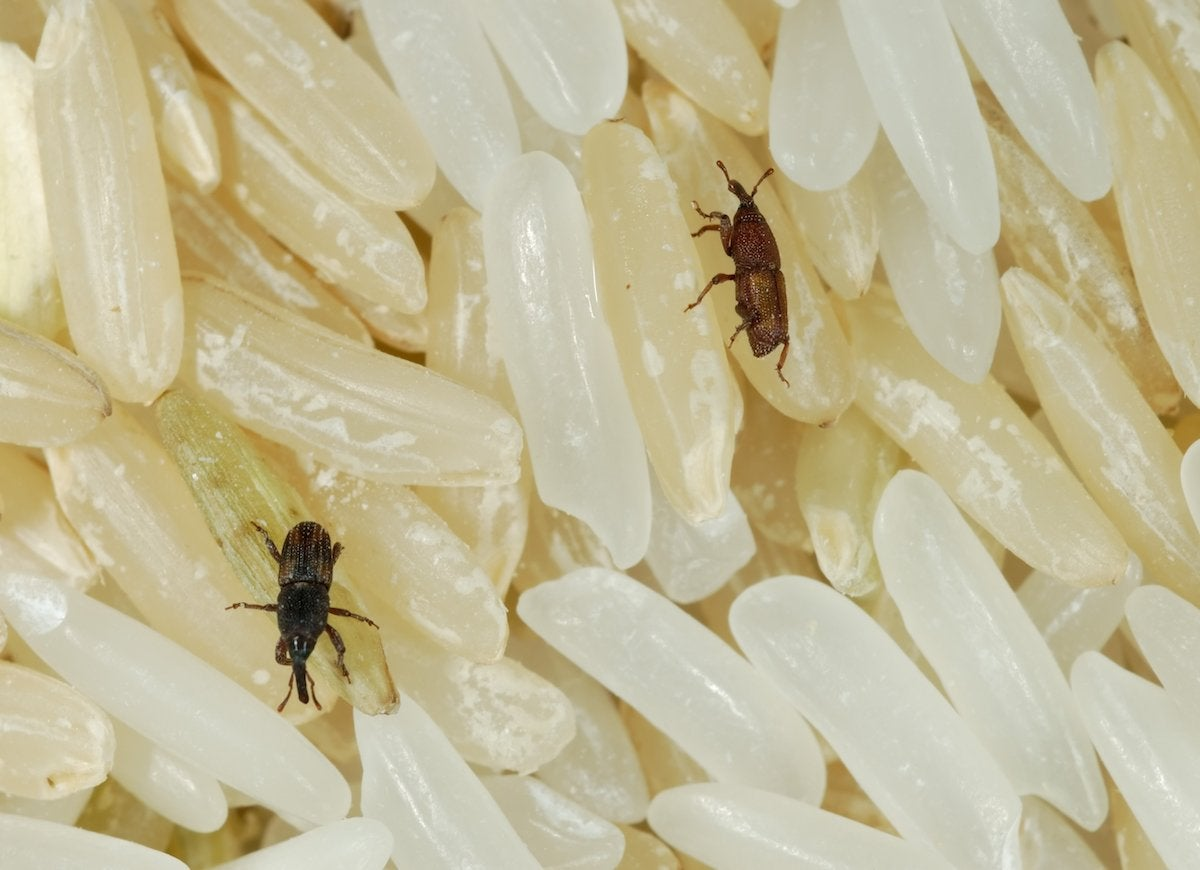 Weevils usually get into your house by hitching a ride in your groceries adult weevils burrow into rice and other grains to lay their eggs so you may not