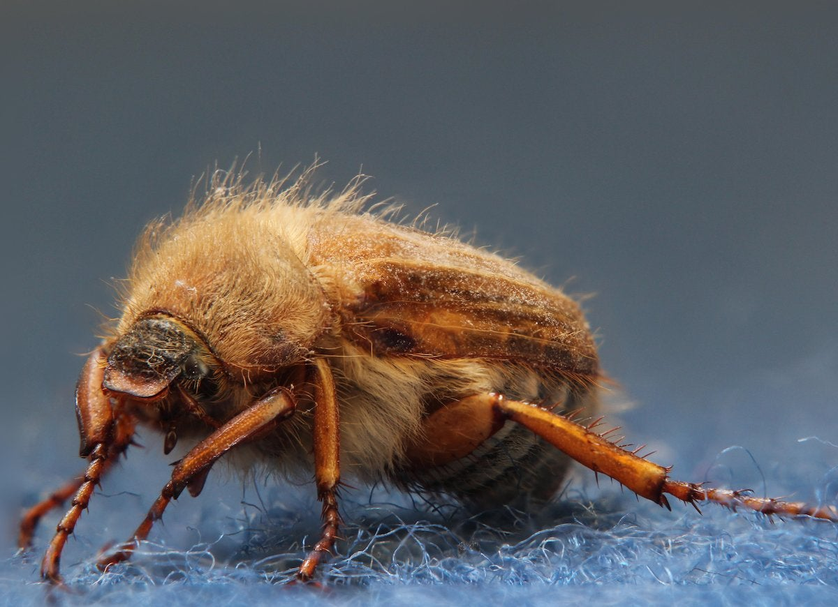 An adult carpet beetle wont cause your home any harm unfortunately the same cannot be said of their larvae carpet beetle larvae can eat holes in rugs