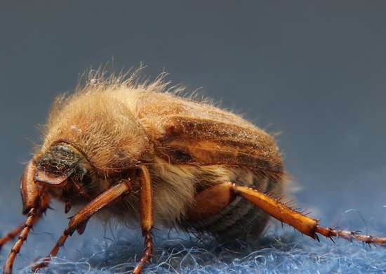 Carpet Beetles. How Do You Get Carpet Beetles In Your House   carpet steam cleaner
