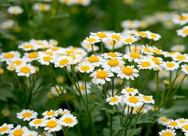 Chamomile Allergy