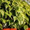 Ficus Allergy