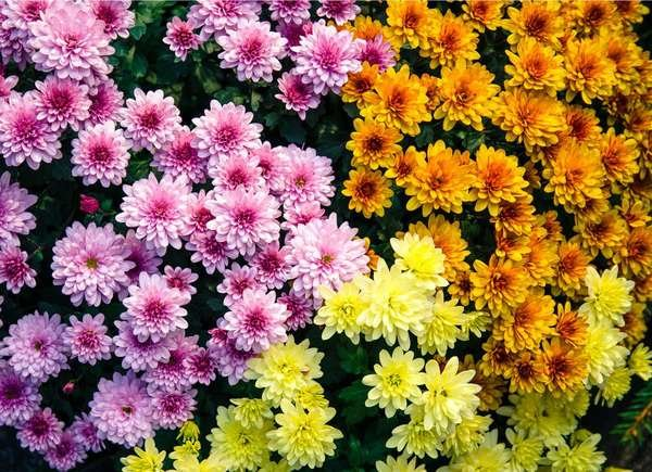 Chrysanthemum Allergy
