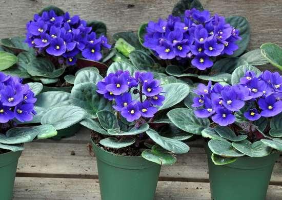 African Violet Allergies