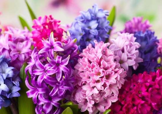 Hyacinth Allergy