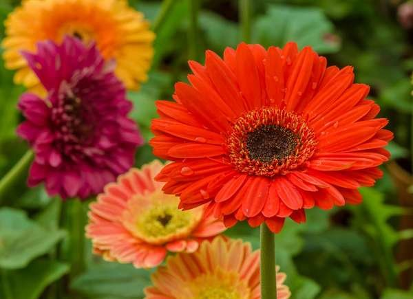 Gerbera Daisy Allergy