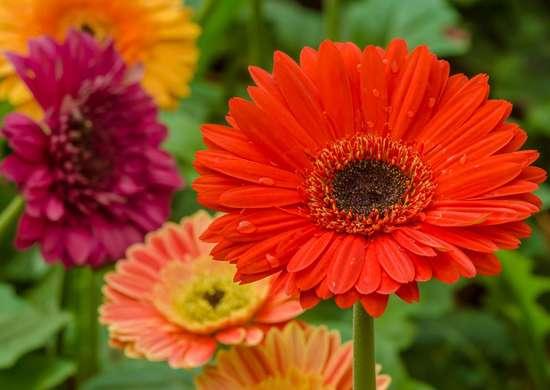 Colorful-daisy