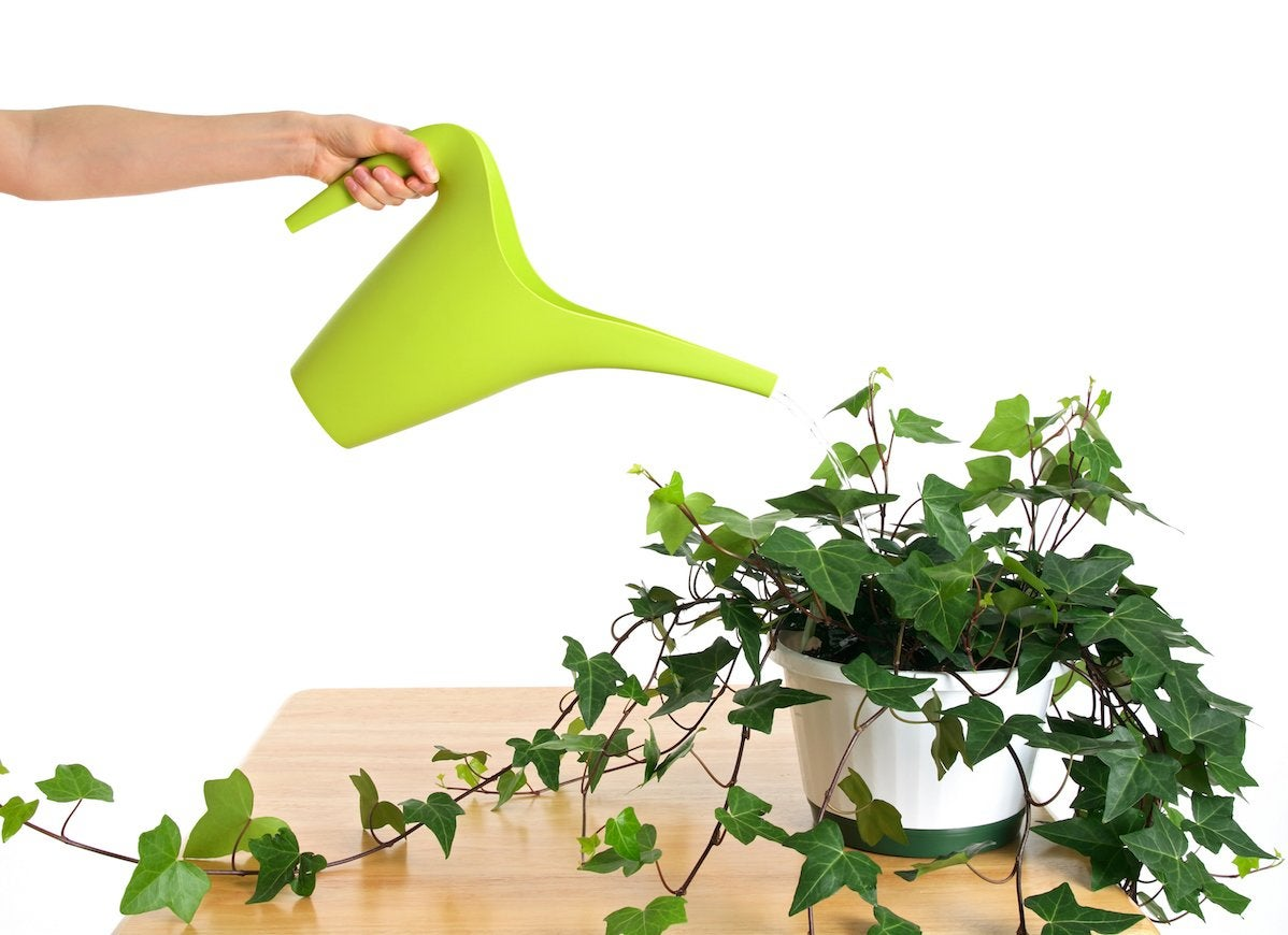 Watering green ivy in pot