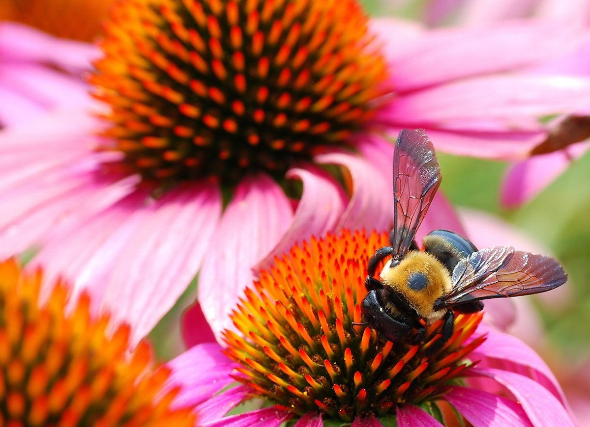 Coneflower bee