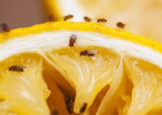 Wine Fruit Fly Trap