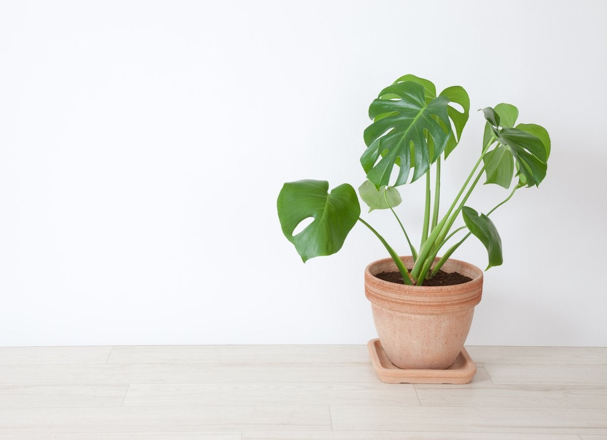 Cheese plant