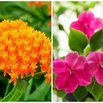 Butterfly Weed and Impatiens