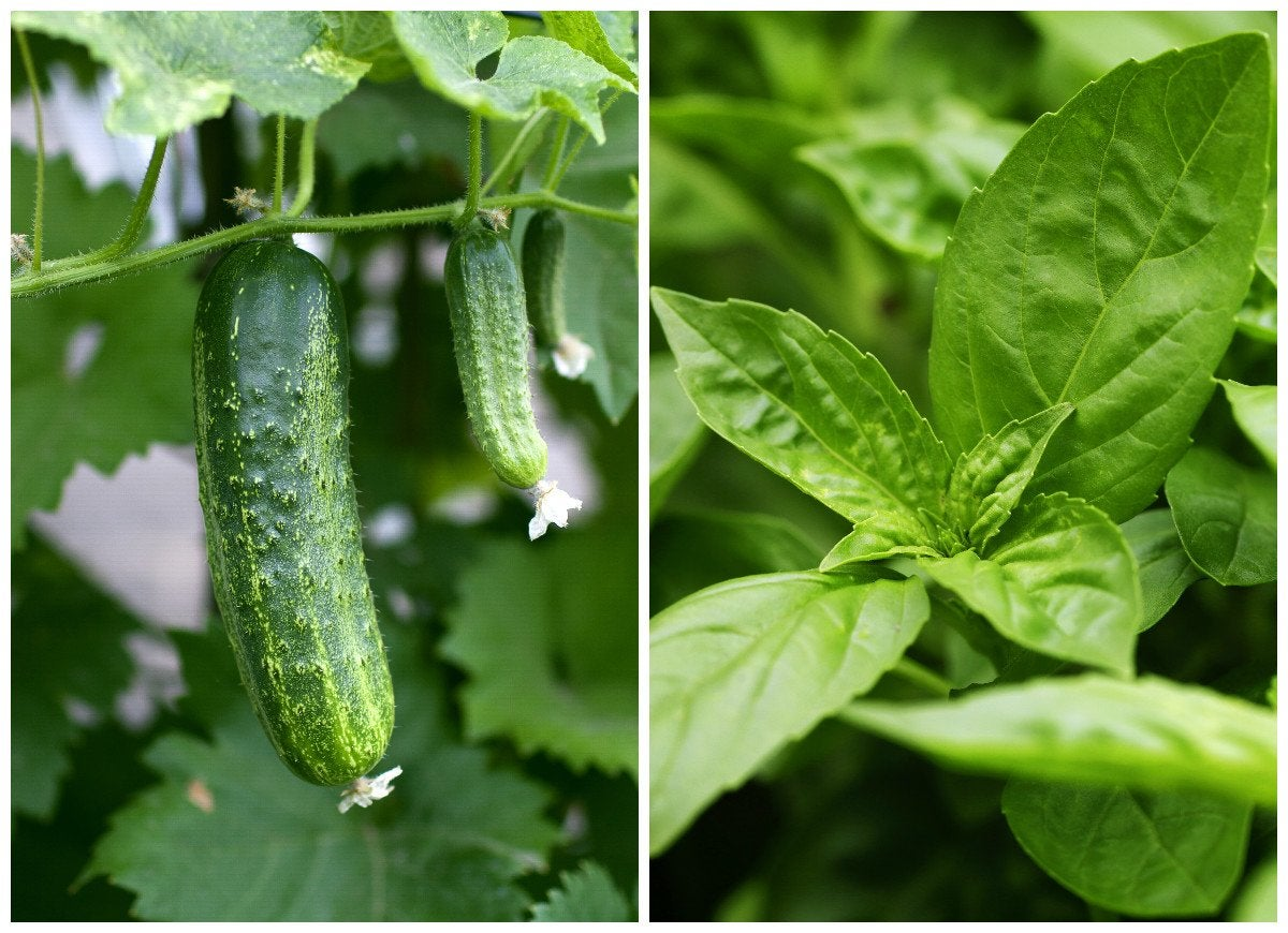 Cucumber and basil