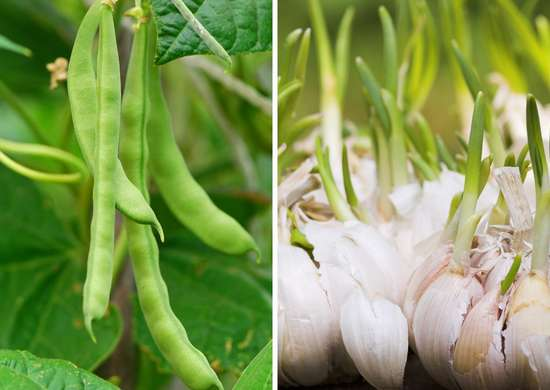 Beans and garlic