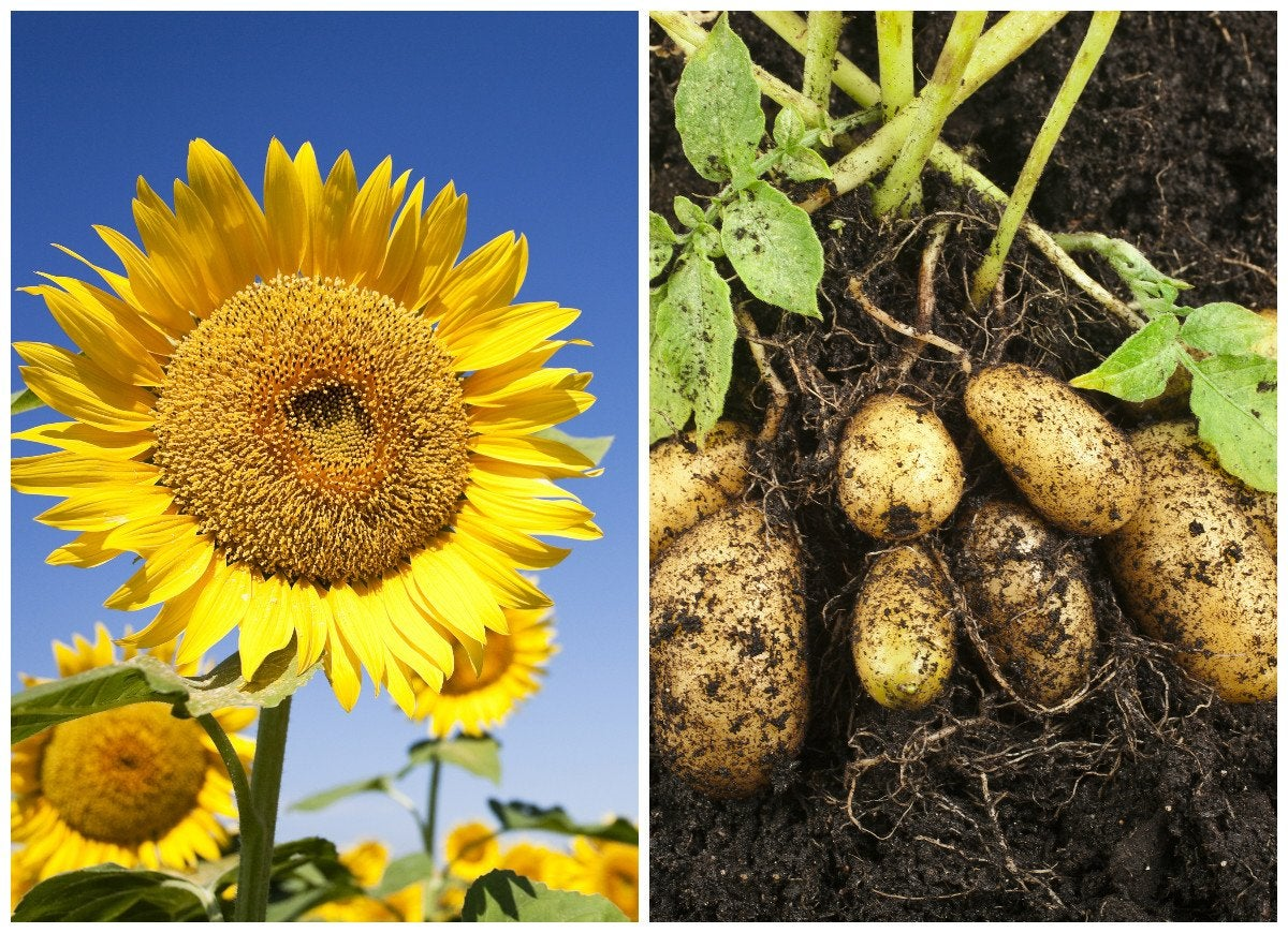 Sunflowers and potatoes