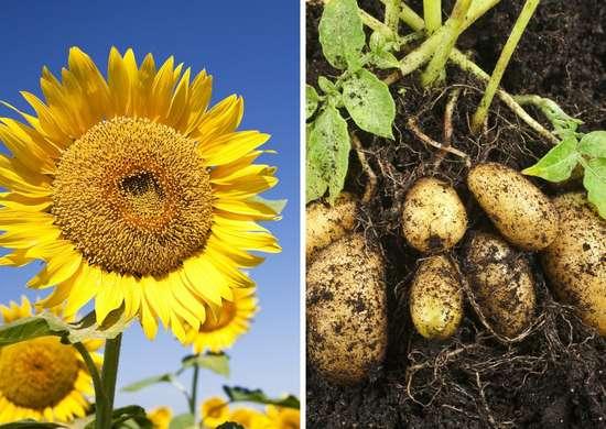 Sunflowers and potatoes
