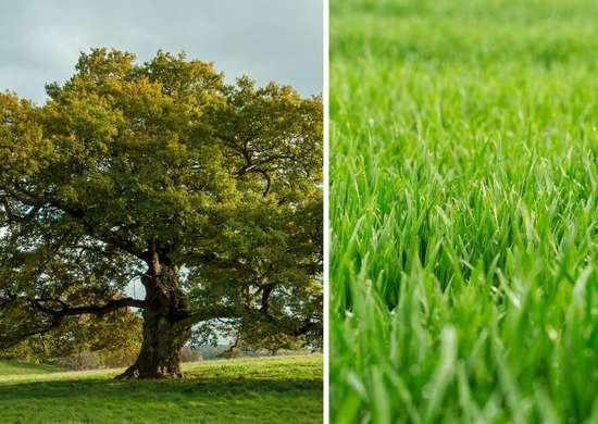 Turfgrasses and shade trees