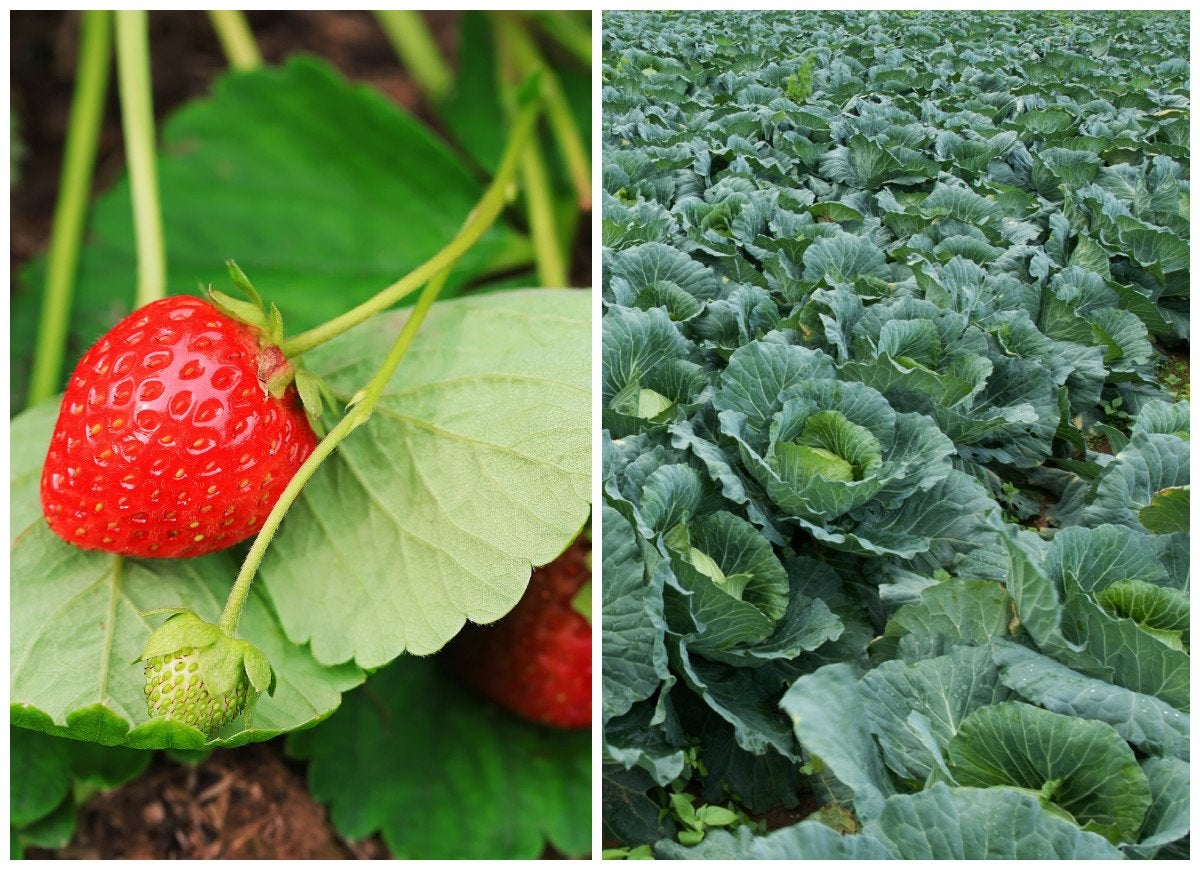 Strawberries and cabbage
