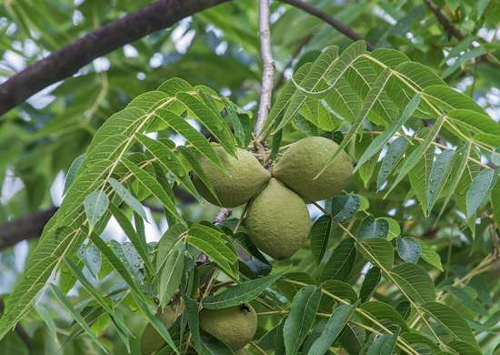 Blac walnut tree 597273616