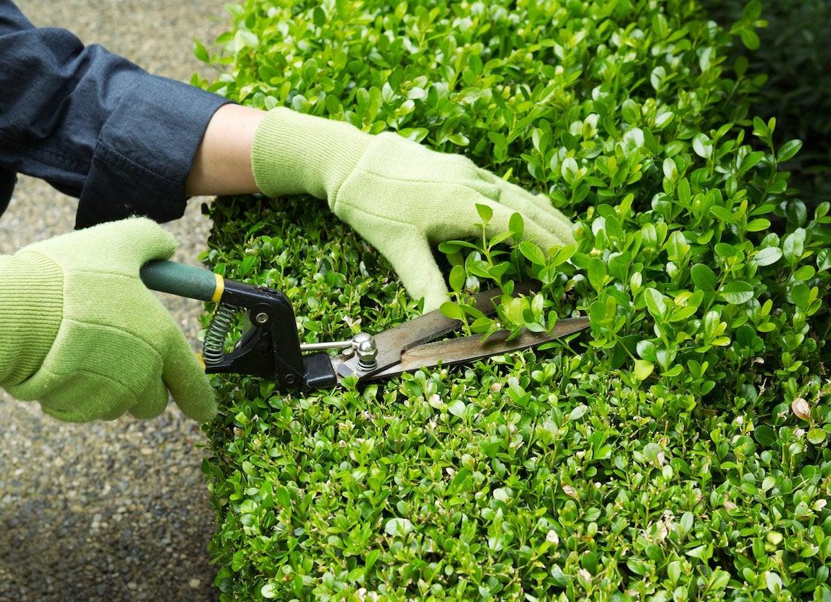 Trimming shrubs