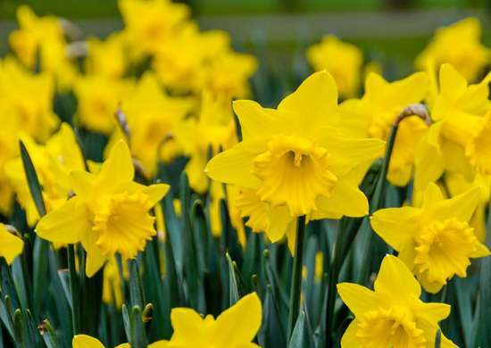 How to Grow Daffodils